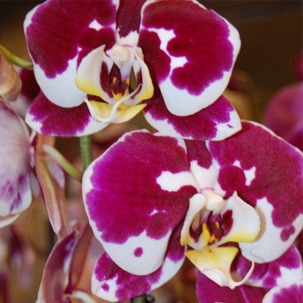 orquídea moteada