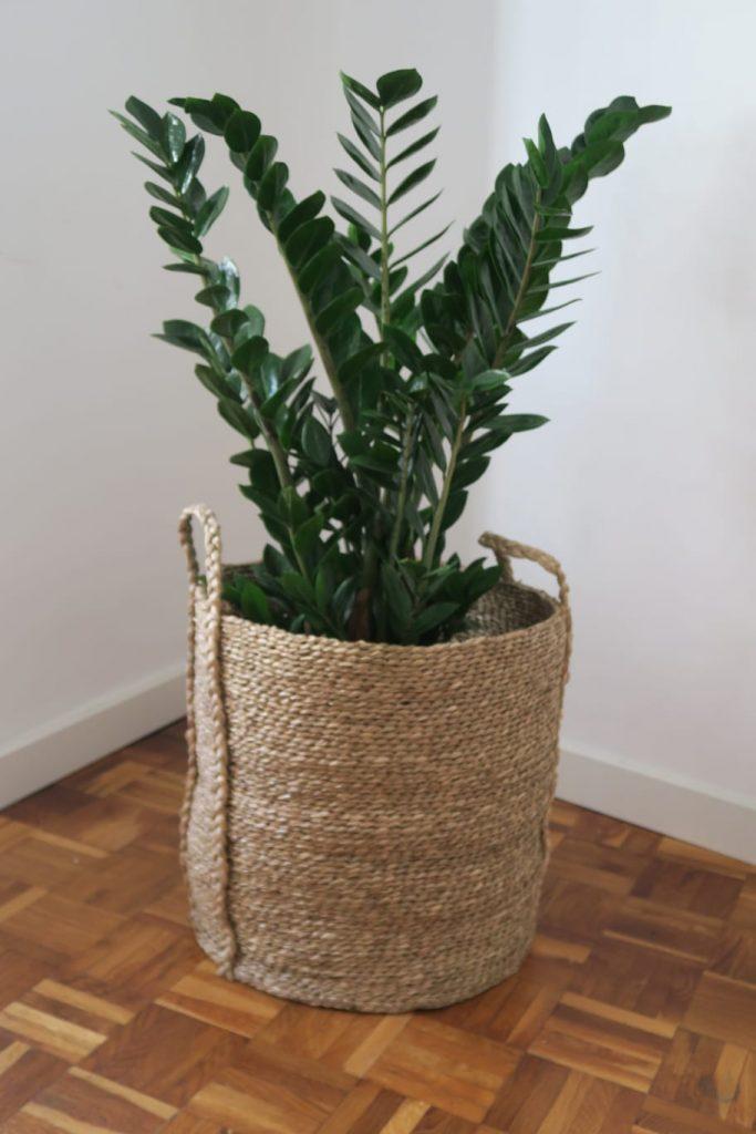 Zamioculca zamifolia