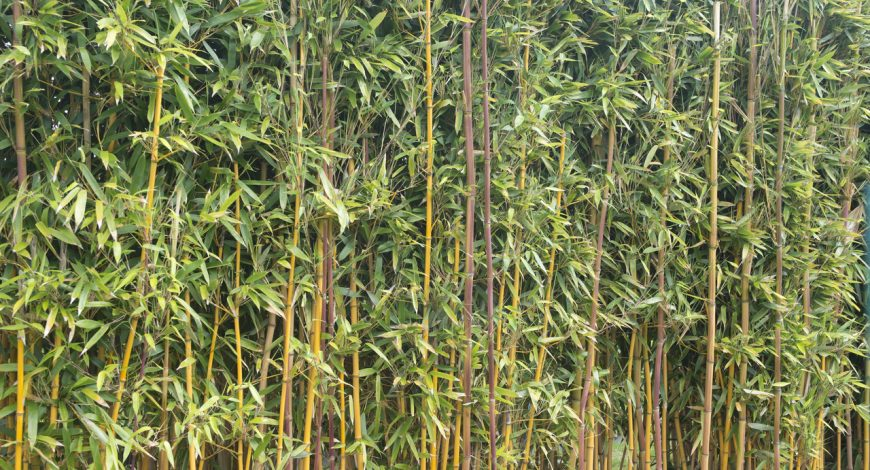Bambú dorado o Phyllostachys aurea