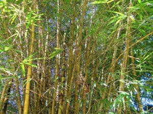 bambu dorado