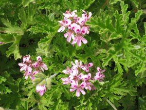 flor del geranio anti mosquitos
