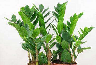 La planta inmortal