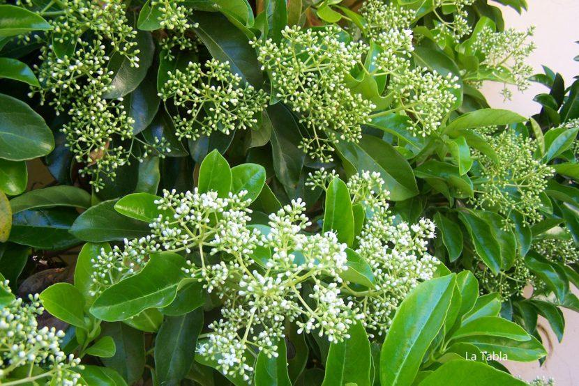 lucidum resistente al calor detalle de la flor