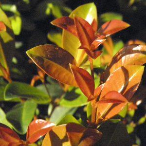 Eugenia myrtifolia