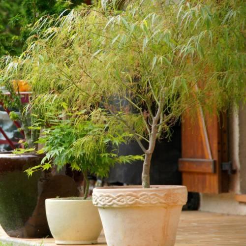 acer palmatum en otoño