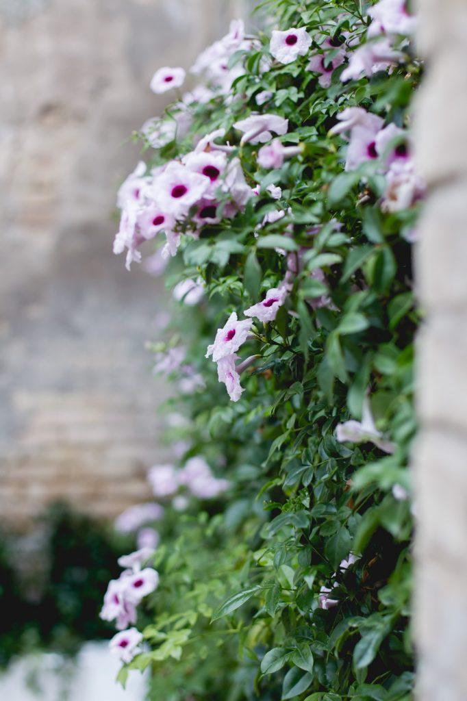 bignonia rosa en flor
