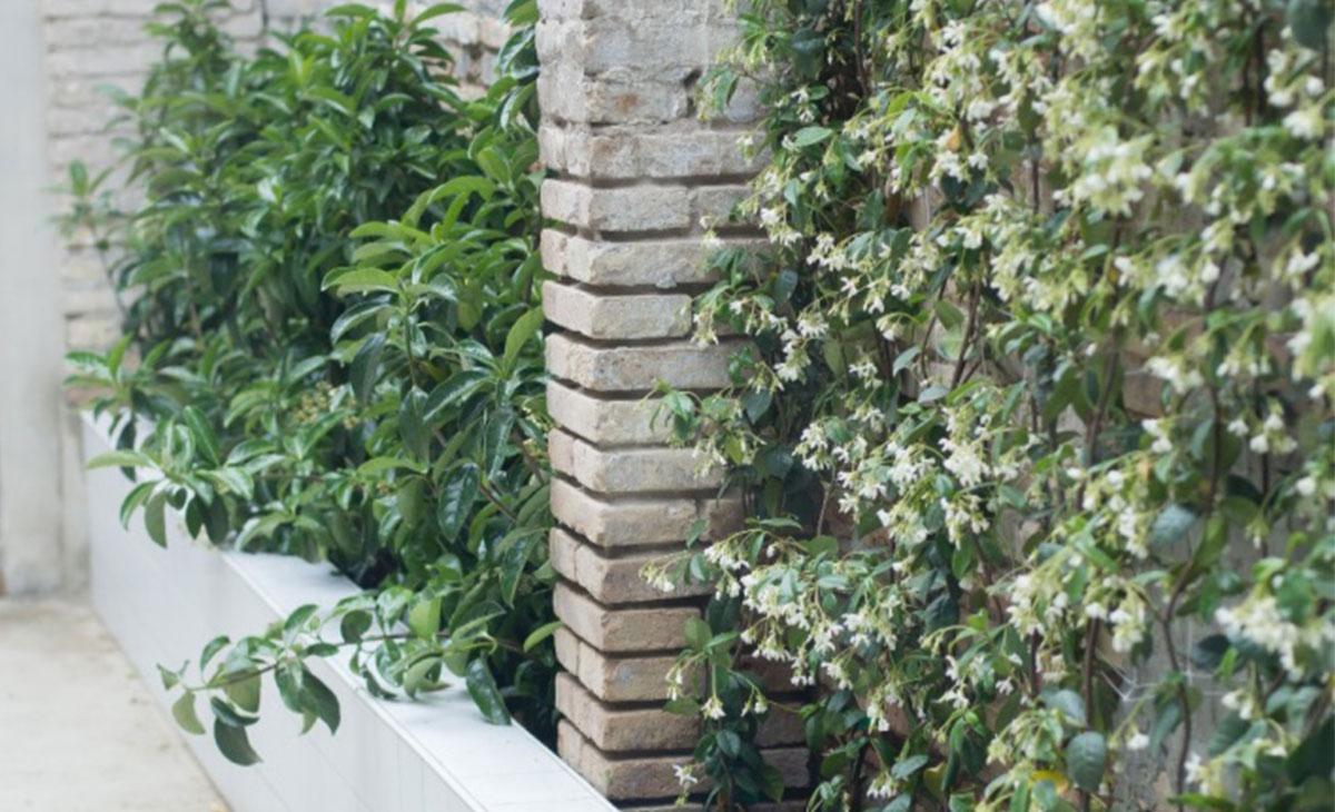 trachelospernum y viburnum con flor