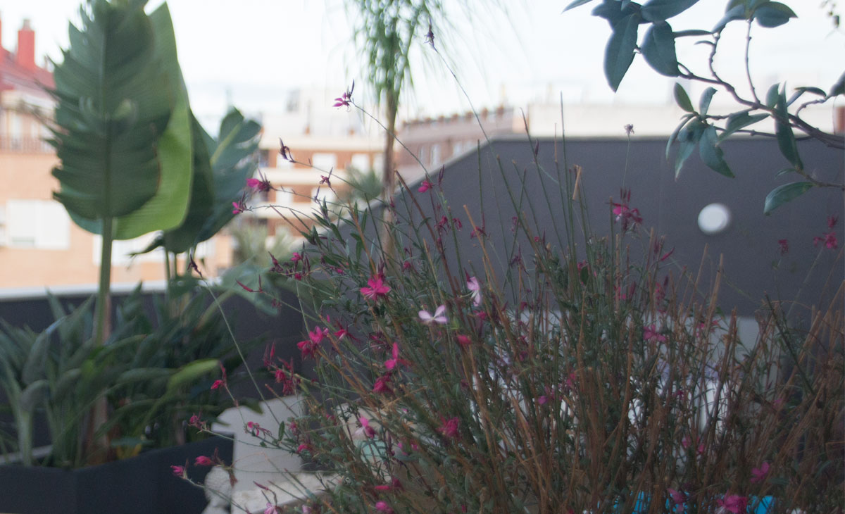 gaura en flor