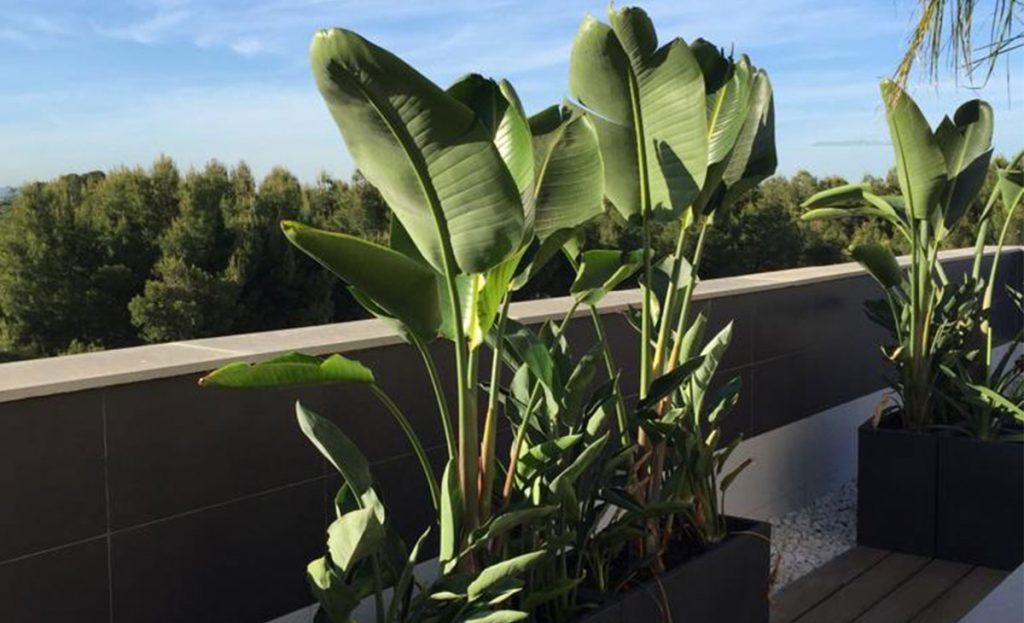 planta de hoja ancha en ático
