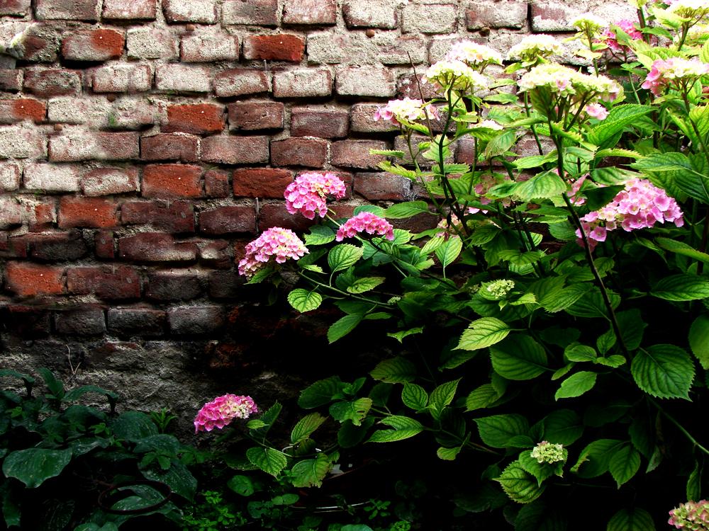 hortensia planta trepadora