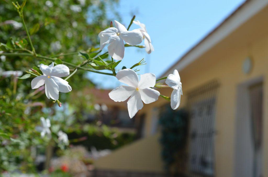 jazmín planta trepadora