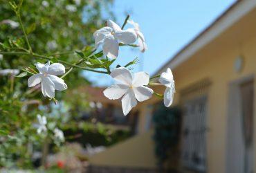 planta trepadora para tu terraza