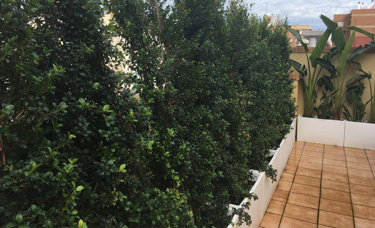 seto de Eugenia en jardín con privacidad en la ciudad